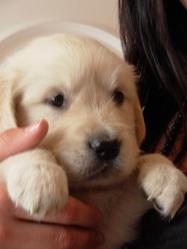 Elya, chien Golden Retriever