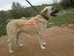 Elyjah Fd4s, chien Berger d'Anatolie