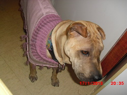 Elyna, chien Shar Pei