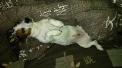 Elyo, chien Jack Russell Terrier