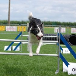 Elyot, chien Border Collie