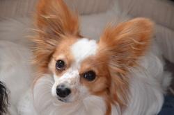 Elyott, chien Épagneul nain continental
