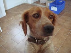 Elys, chien Épagneul breton