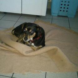 Elysse, chien Pinscher