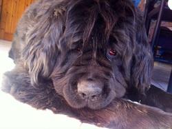 Elysson, chien Terre-Neuve