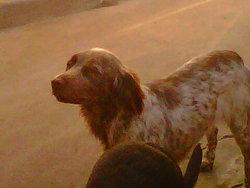 Elza , chien Épagneul français