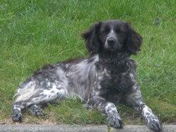 Elza, chien Épagneul breton