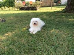 Elza, chien Bichon bolonais