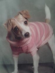 Ema, chien Parson Russell Terrier
