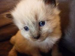 Emélie, chat Siamois
