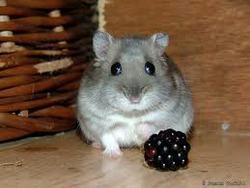 Emeraude, rongeur Hamster