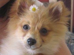 Emeraude, chien Spitz allemand