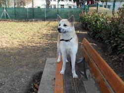Emeraude, chien Akita Inu