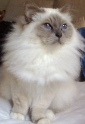 Emeraude, chat Birman