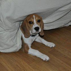 Emeraude, chien Beagle