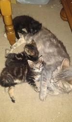 Emeraude Et Ses Bébés, chat Européen