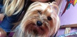 Emeraude, chien Yorkshire Terrier