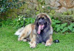 Emerson, chien Leonberger