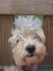 Emeuraude , chien Bichon à poil frisé