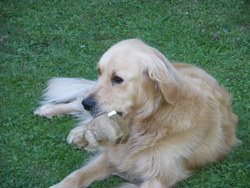 Emi, chien Golden Retriever