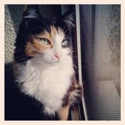 Emi, chat Européen