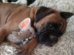 Emie, chien Boxer
