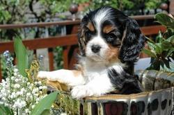 Émie, chien Cavalier King Charles Spaniel