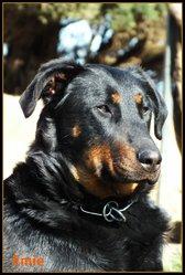 Emie, chien Beauceron
