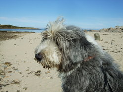 Emil, chien Bearded Collie