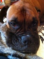 émile, chien Boxer
