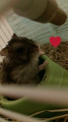 Émile, rongeur Hamster