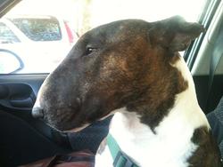 Emile, chien Bull Terrier