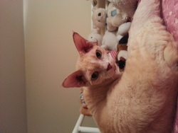 Emile, chat Devon Rex