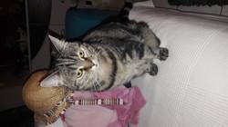 Emilie, chat Européen