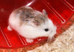 Emily, rongeur Hamster