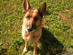 Emir Des Acacias D Hiram, chien Berger allemand