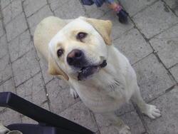 Sirus, chien Labrador Retriever