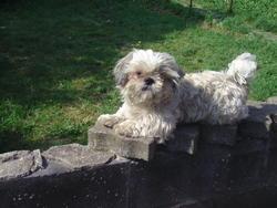 Emire, chien Shih Tzu