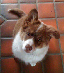 Emla, chien Berger australien