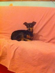 Emma, chien Pinscher