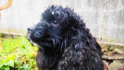 Emma, chien Cocker anglais
