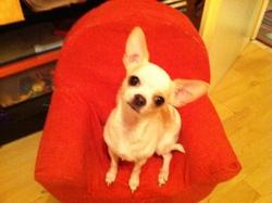 Emma, chien Chihuahua