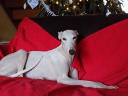 Emma, chien Lévrier espagnol