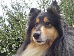 Elma, chien Colley à poil long