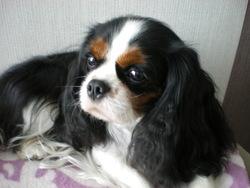 Emma De La Géode, chien Cavalier King Charles Spaniel