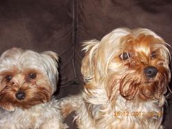 Emmie, chien Yorkshire Terrier