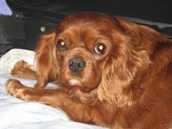 Emmy, chien Cavalier King Charles Spaniel