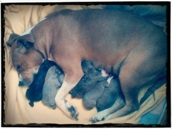 Emmy, chien American Staffordshire Terrier
