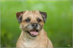 Emmy, chien Border Terrier