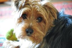 Emna, chien Yorkshire Terrier